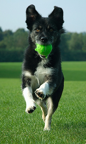 dog-running-with-ball